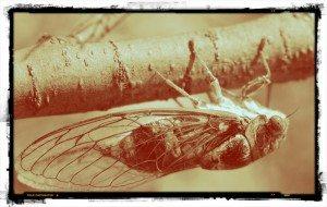 cicala